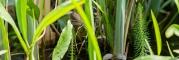 Vízilófark (Hippuris vulgaris)