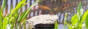 Vízi hídőr (Alisma plantago-aquatica)