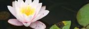 levéltetvek a tavirózsa virágán
